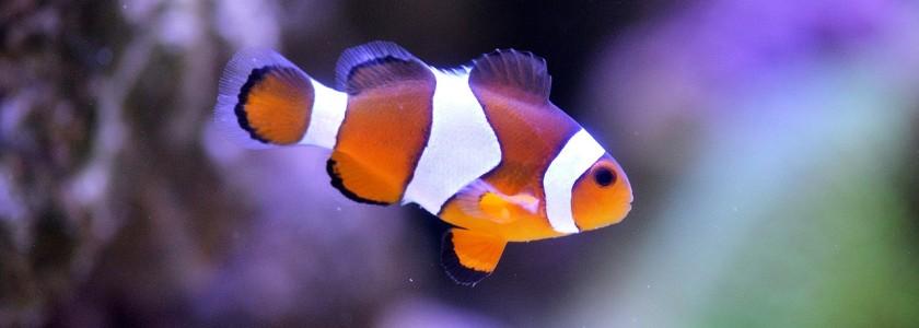 clownfish-1453910_1280